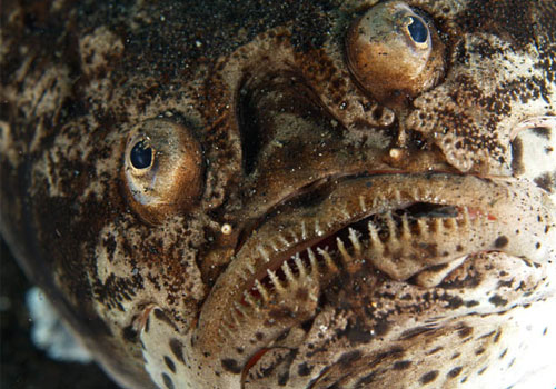 22 the star gazer 22 Sea Creatures That Will Keep You Dry