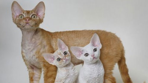devonrex 10 Strange Breeds of Cat