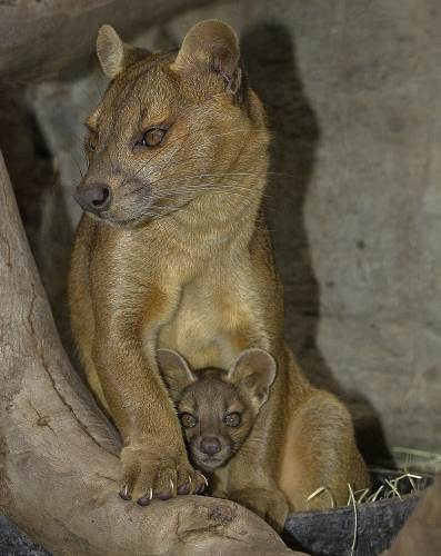 A female Fossa with her pup