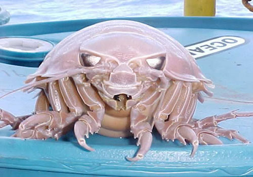 giant isopod 22 Sea Creatures That Will Keep You Dry