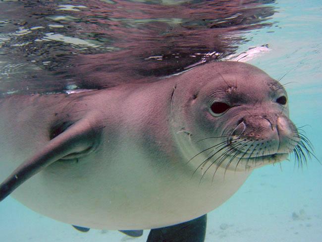 image5 650 Hawaiian Monk Seal