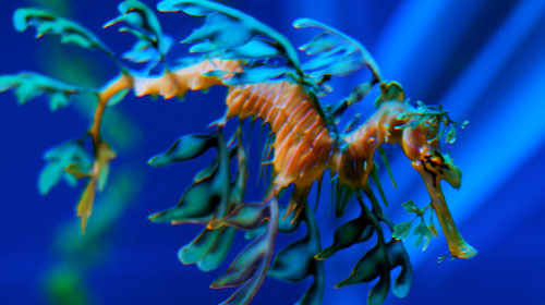 leafyseadragon 10 Worlds Most Bizarre Creatures