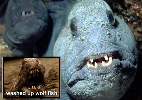 wolffish 22 Sea Creatures That Will Keep You Dry