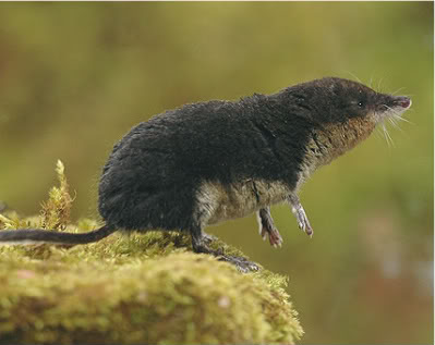 Eurasianwatershrew Eurasian Water Shrew