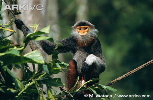 Male red shanked douc  Douc Langur