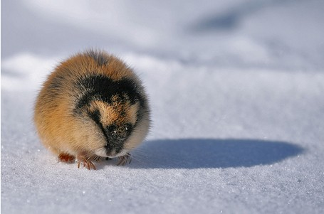 Norwegian lemmings Norway Lemming