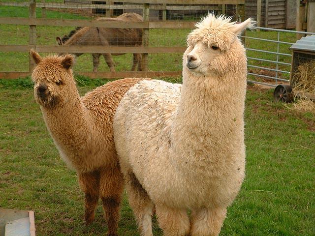 alpaca 3052411 Alpaca