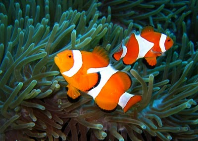 clown fish Clownfish