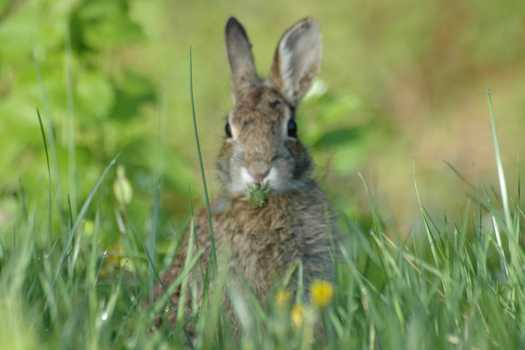 cottontailGWMP Eastern Cottontail