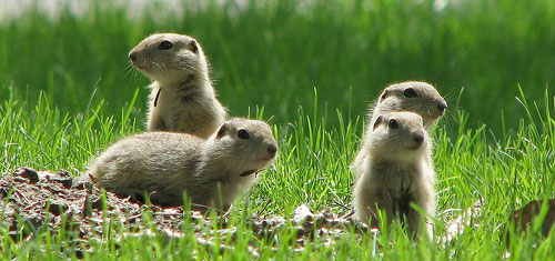 gophers Gophers