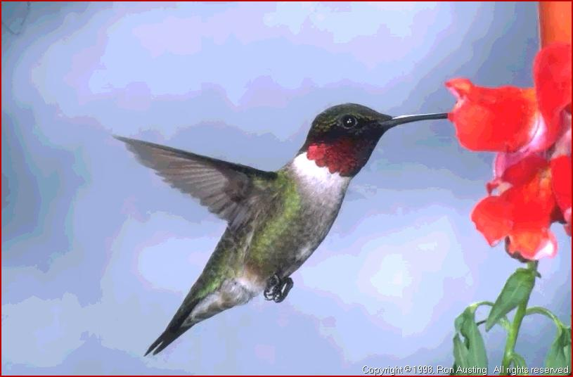 2080 Ruby throated Hummingbird