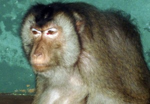 2l 300x208 Pigtail Macaque