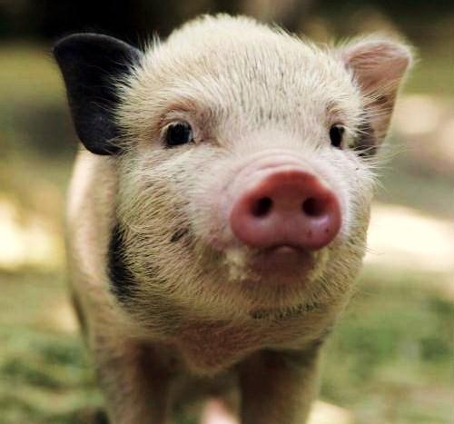 DXRTy7Pq1mfvwisofJEMk1qEo1 500 Miniature Pig, Teacup Pig, Micro Pig