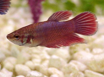 betta05G Siamese Fighting Fish