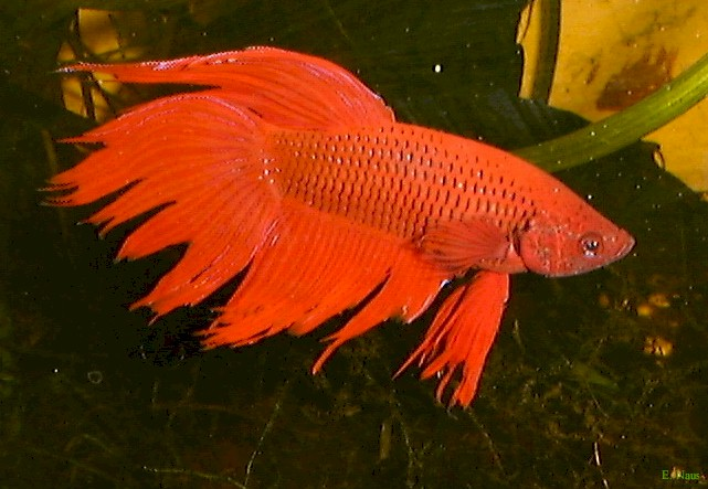 bettaprachtig Siamese Fighting Fish