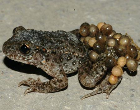 midwife toad Midwife Toad