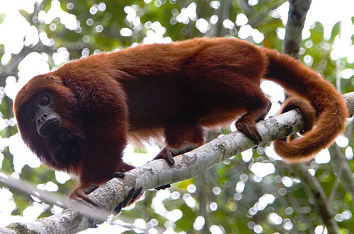 monkey1 Venezuelan Red Howler