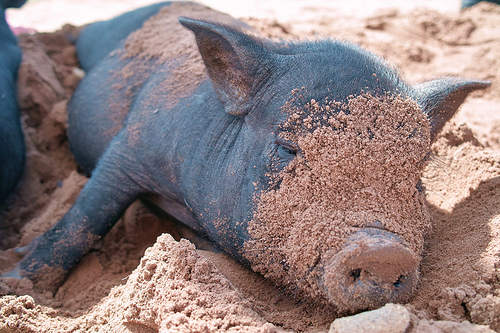 vietnamese pot bellied pig sand Pot Bellied Pig