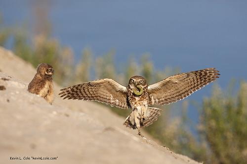 3577684712 3fa3067024 Burrowing Owl