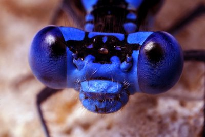 The eye positioning of the Blue Damselfly allows it to spot prey in all directions