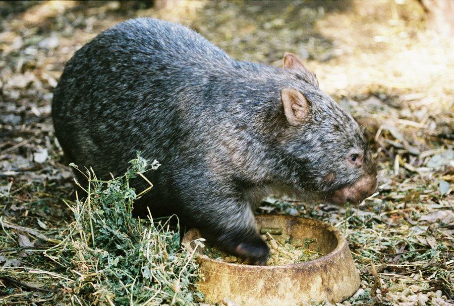 CommonWombat Common Wombat