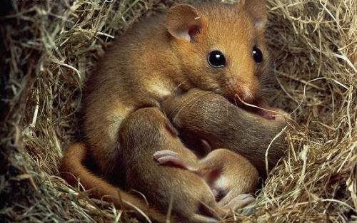 Image1 Common Dormouse