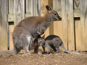 Red Necked Wallaby and Baby 300x225 Red Necked Wallaby
