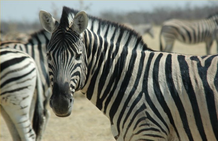 If not for the stripes, Zebras would look like ordinary horses
