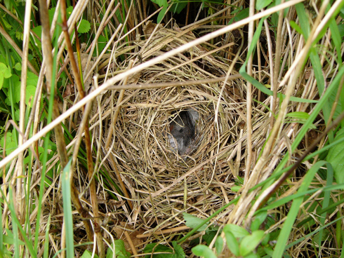 chiffchaff nest and eggs in hedge 1 lower pulworthy 20 may 2007 reduced Chiffchaff