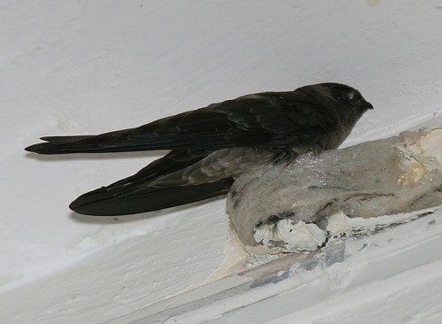 41330IMG 6268 re1 e1281194926457 Edible Nest Swiftlet