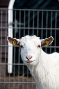 1167499   what your looking at   Goat