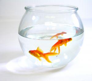 882707 gold fish close ups Goldfish