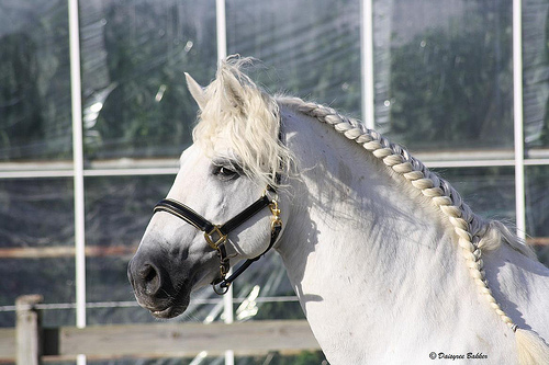 4707148268 c66c02be5b Andalusian Horse