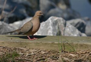 mourning dove Mourning Dove