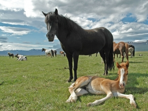 Icelandic horses are the size of ponies