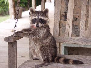 673875 a country evening 1 Racoon