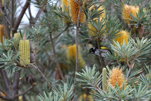 albany banksia with new holland honeyeater