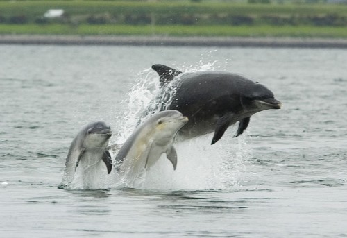 800px Bottlenose dolphin with young e1292744477179 Bottlenose dolphin