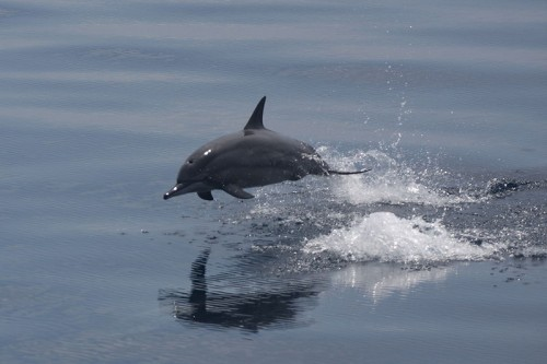 800px Spinner dolphin jumping e1292235551432 Spinner Dolphin