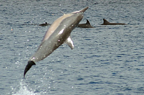 800px Twist tail spin e1292235462455 Spinner Dolphin