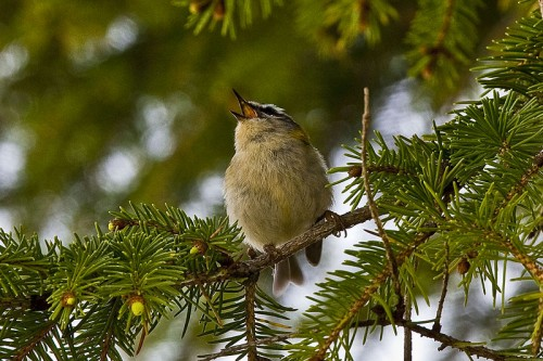 800px Regulus ignicapilla  Galicia Spain  singing in a conifer tree 8 1 e1294738554980 Common Firecrest