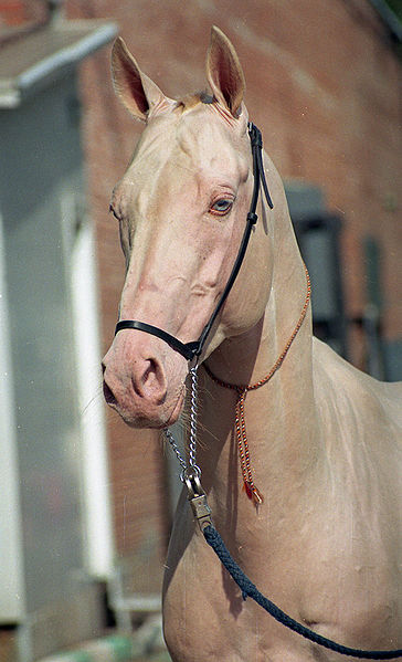 akhal teke Beauty Competition for Horses Announced