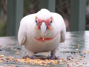 long billed corella Parrots are Left Handed