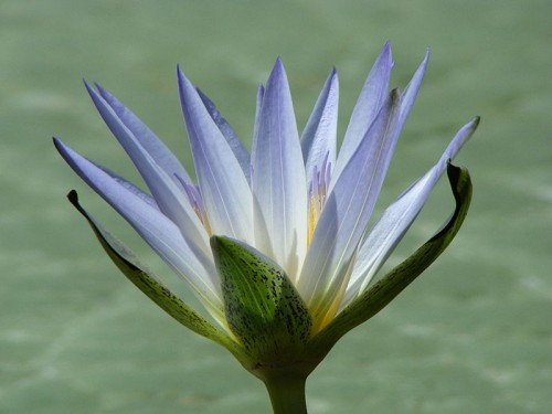 800px Nymphaea caerulea flower e1300207017670 10 Natural Plants That Can Get You High