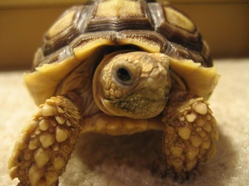 African Sulcata Tortoise e1300088751989 Top 10 Most Popular Pet Reptiles