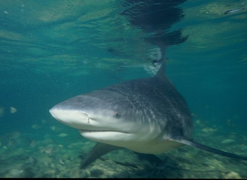 Bullshark e1301033419453 10 of the Worlds Scariest Sharks