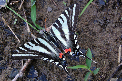 Eurytides marcellus 10 of the Worlds Most Beautiful Butterflies
