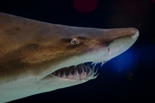 Grey nurse shark e1301033490594 10 of the Worlds Scariest Sharks