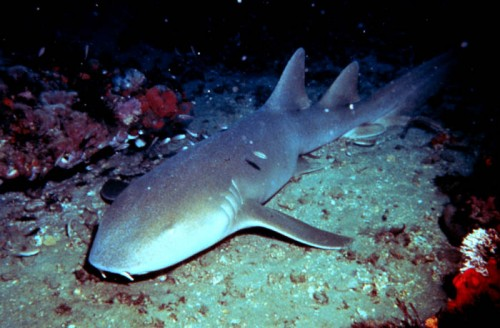 Nurse shark e1301033645955 10 of the Worlds Scariest Sharks