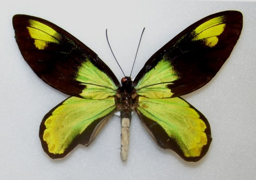Ornithoptera victoriae e1299750538611 10 of the Worlds Most Beautiful Butterflies